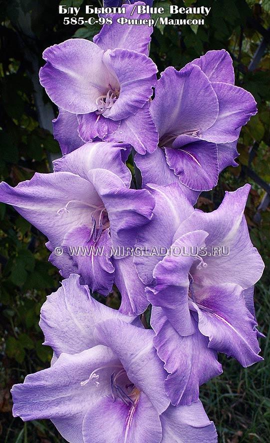фото гладиолуса Блу Бьюти/ Blue Beauty, селекционер Фишер/Мадисон