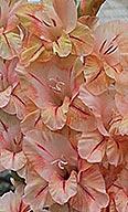 гладиолус Чита-Грита