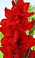 фото гладиолуса  Красная метель