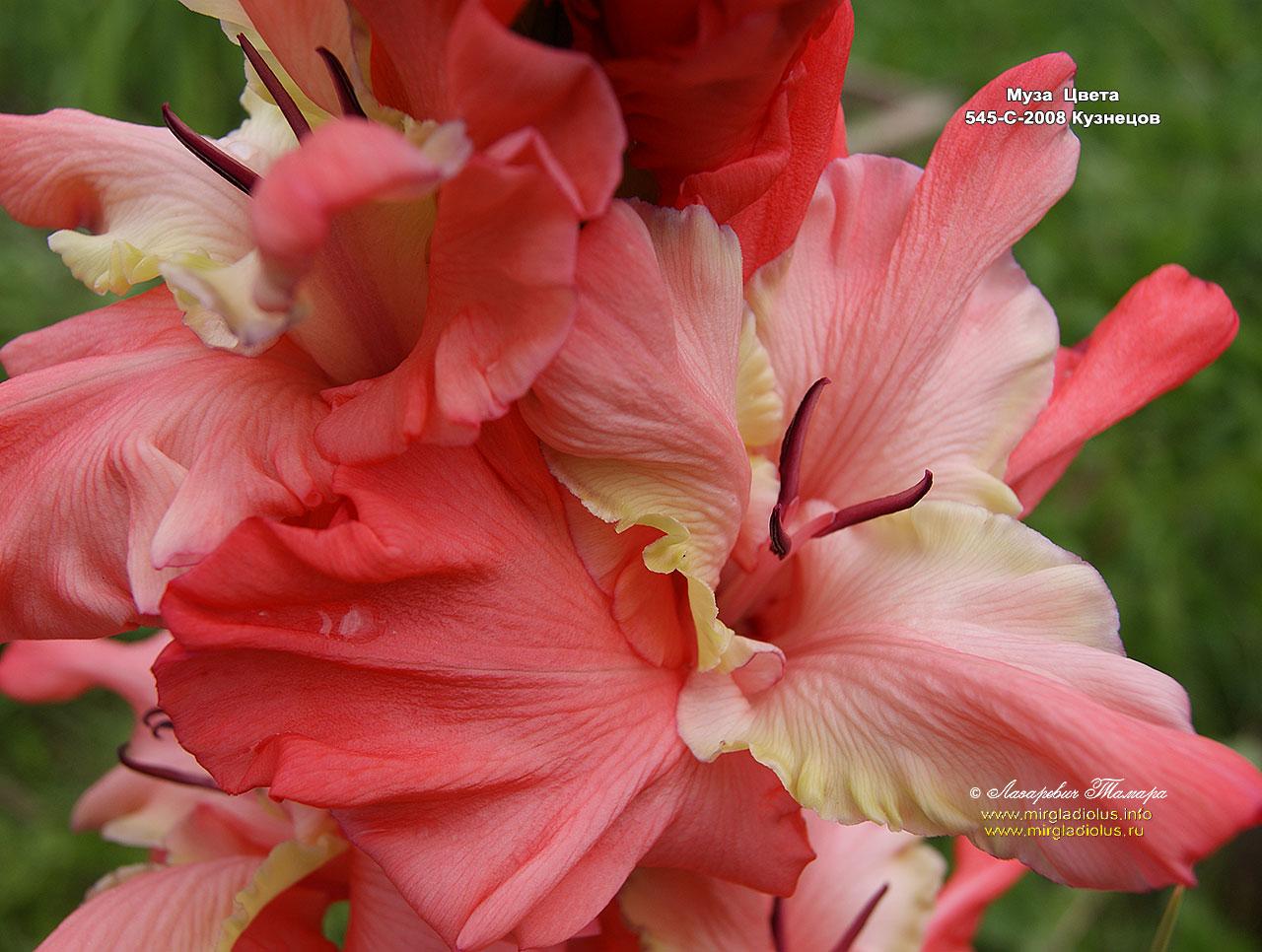 Мир цветов гладиолусы фото