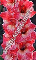 фото гладиолуса Регулус Экзотик/Regulus Exotic