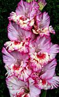 фото гладиолуса Сиреневая Акварель