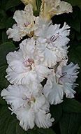фото гладиолуса Сиреневая Жемчужина