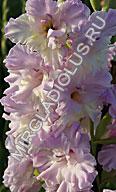 фото гладиолуса Сиреневый Сад