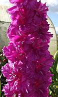 фото гладиолуса  Славазийская  сирень / Lilac al Slavaziei