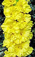 фото гладиолуса Золотой Колос