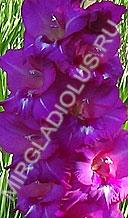 гладиолус sdlg 335-2-1 гибридный сеянец Лазаревич Т.