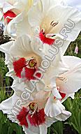 гладиолус Белая Фея