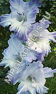 фото гладиолуса Голубая Бездна