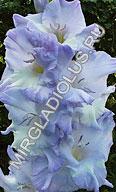 фото гладиолуса Голубая Молния