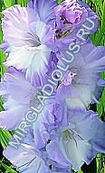 фото гладиолуса Голубая Метель