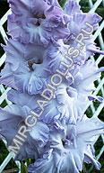 фото гладиолуса Голубой Топаз - увеличить