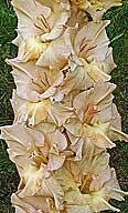 гладиолус Карельские Дюны