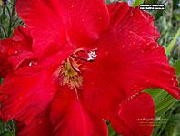 заставки-гладиолусы Красная Бабочка 1280х960