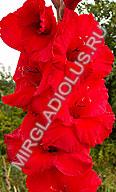 гладиолус Красный Мак