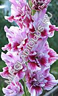фото гладиолус Мерцающие Бабочки