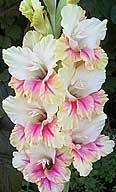 гладиолус Persikinis /  Персикинис  / Персиковый
