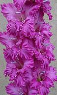 гладиолус Viola / Виола /женское имя